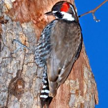 az-woodpecker