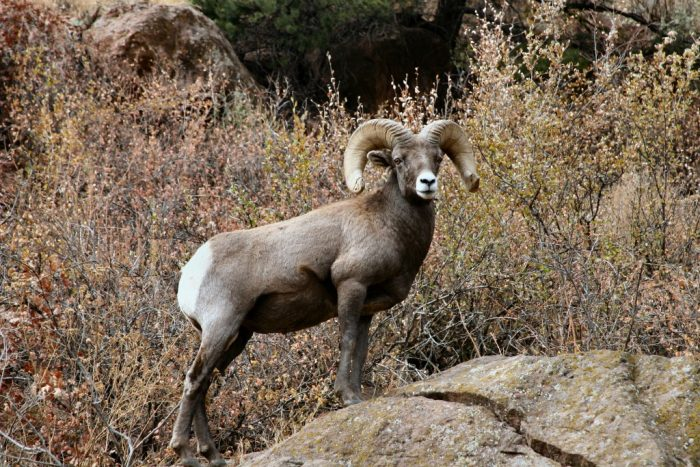 big-horn-sheep