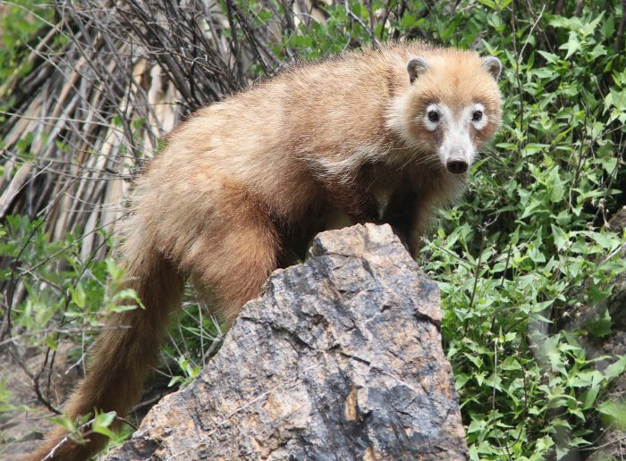 white-nosed-coati-2