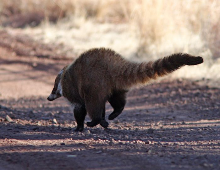 white-nosed-coati-running