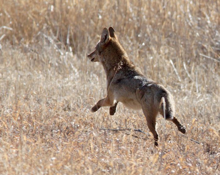 coyote-grasslands