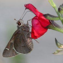 skipper-moon-marked-atrytonopis-lunusmadera